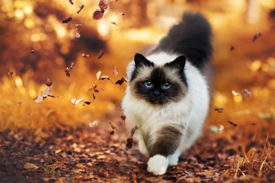 autumn doll cat