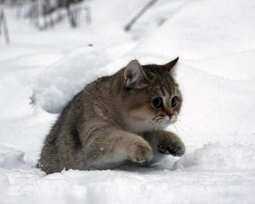 snow pudge cat