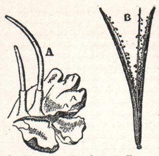 Антоцеротовые