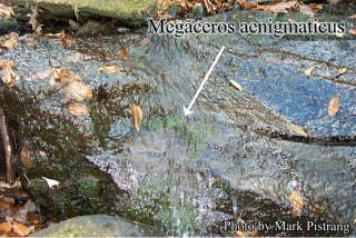 Антоцеротовые мхи anthoceros