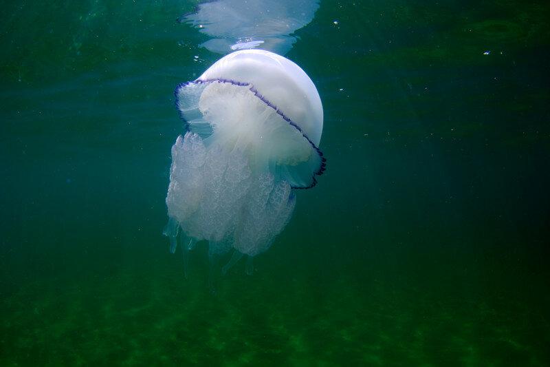 Черноморская медуза-корнерот