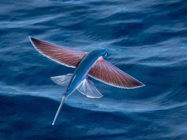 Exocoetidae01
