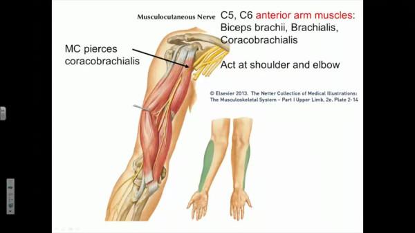 Верхняя часть руки до локтевого сустава букв 5 измерять температуру в локтевом суставе
