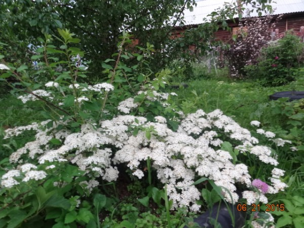 белый сад 001