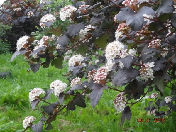 белый сад 002
