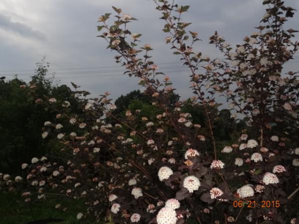 белый сад 007