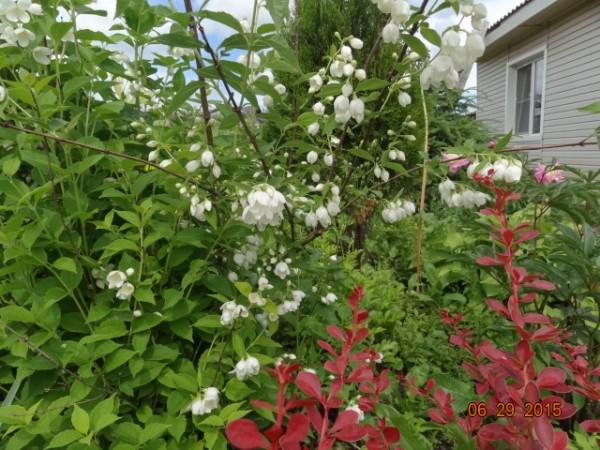 белый сад 011