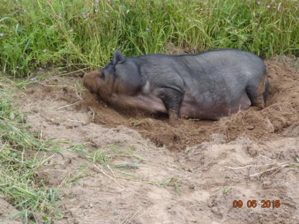 свинское 017