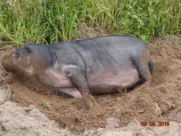 свинское 019