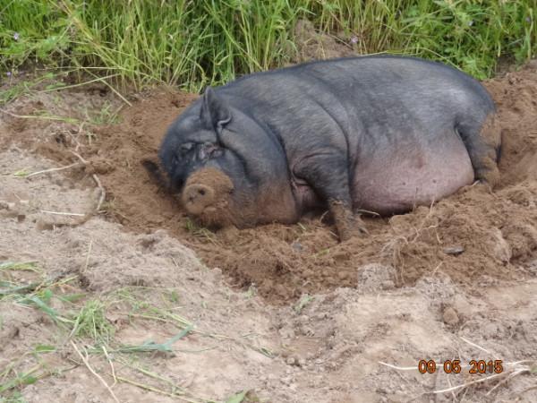 свинское 018