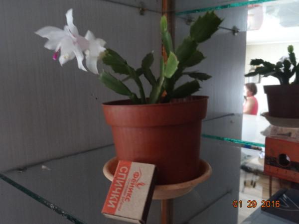 комнатные цветы 011