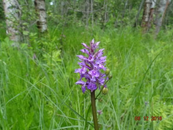 маленькое орхидейное болотце 017