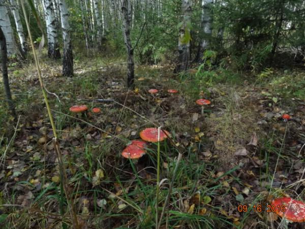 грибы 014