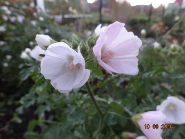 последние цветы 014