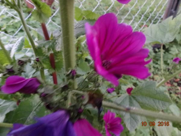 последние цветы 019