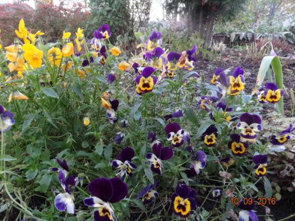 последние цветы 017