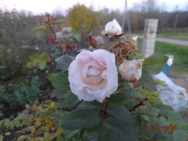 последние цветы 020