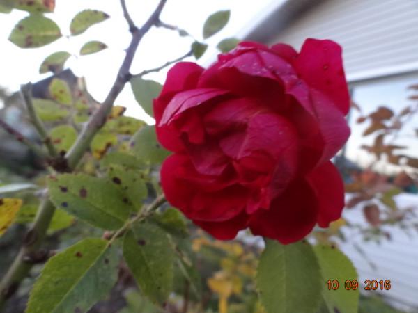последние цветы 021