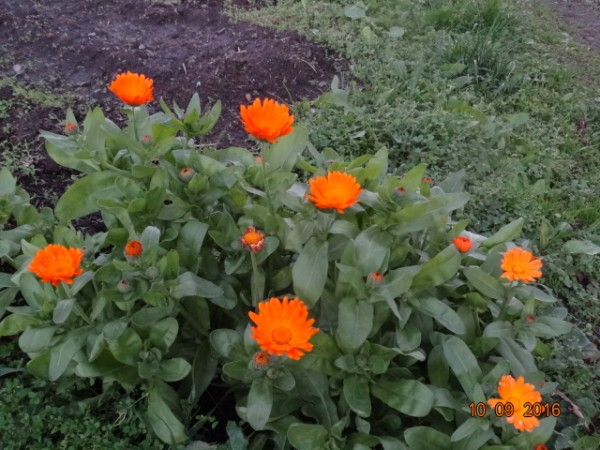 последние цветы 024