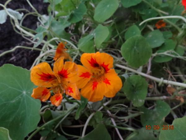последние цветы 023