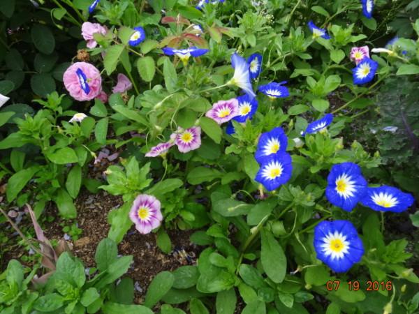 цветники июль 2016 025