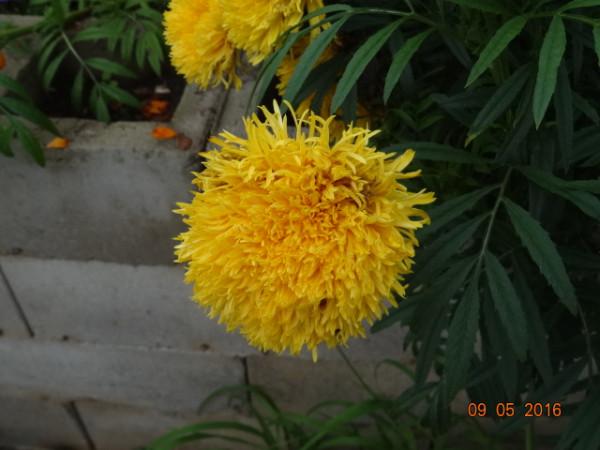 цветники осень 009