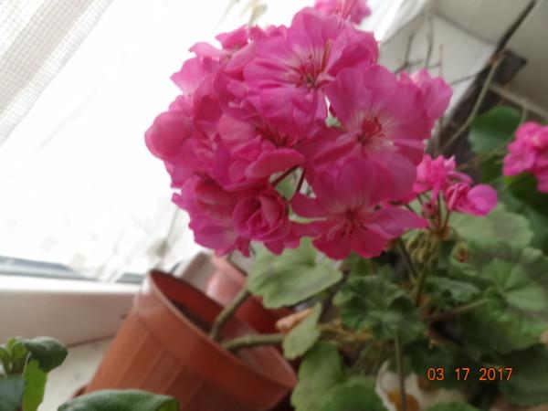 комнатные цветы 066