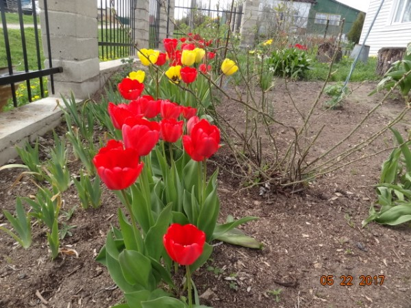 тюльпаны 001