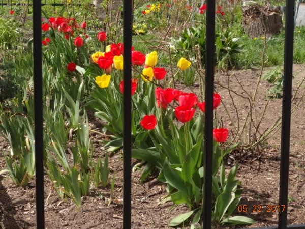 тюльпаны 005