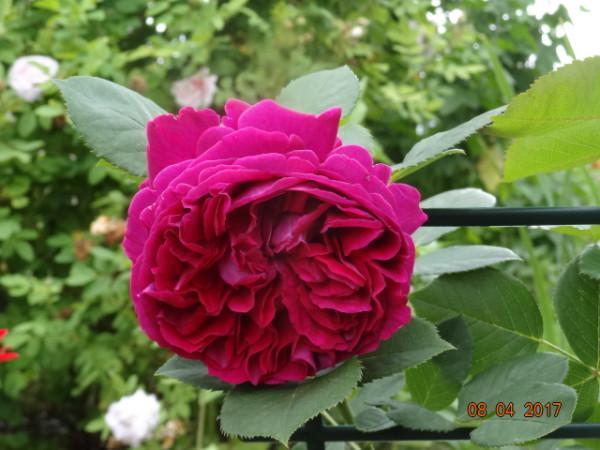 розы 029