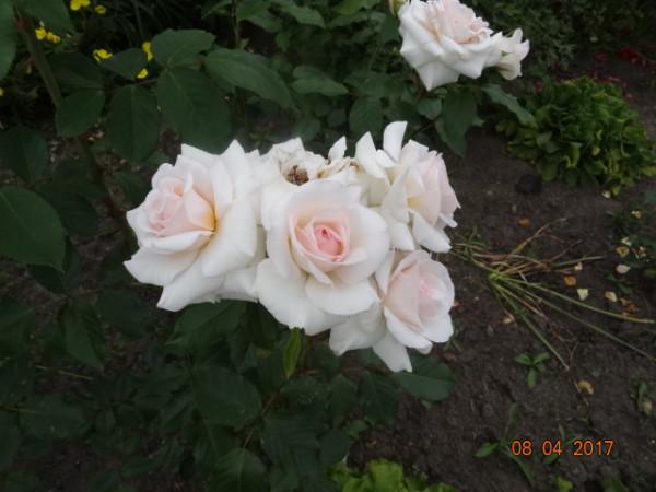 розы 032