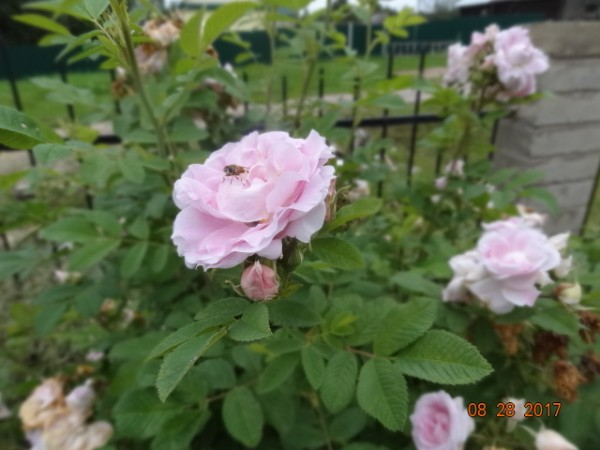 цветники 2017 051