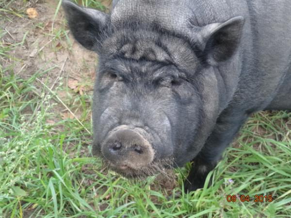 свинское 003