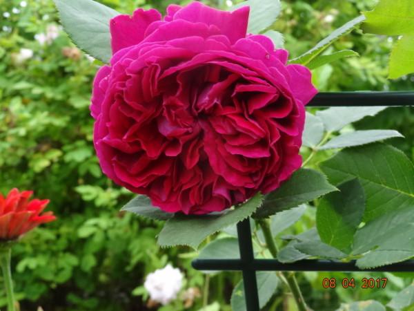 розы 031