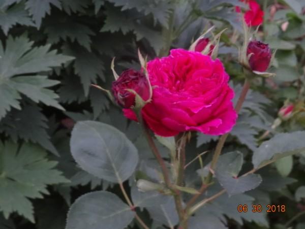 розы 039