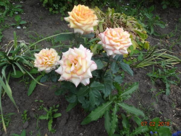 розы 042