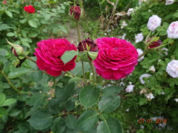 розы 045