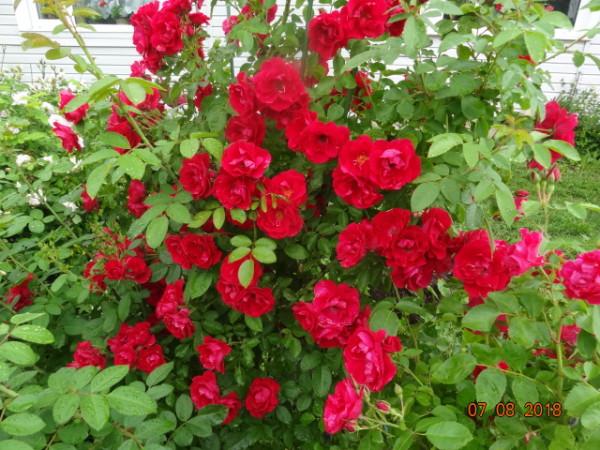 розы 056
