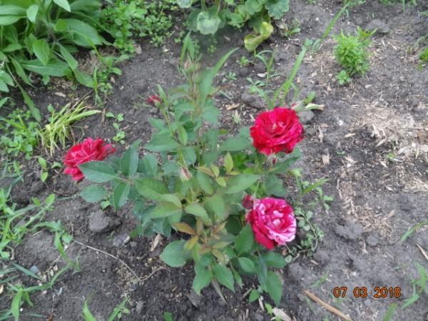 розы 050