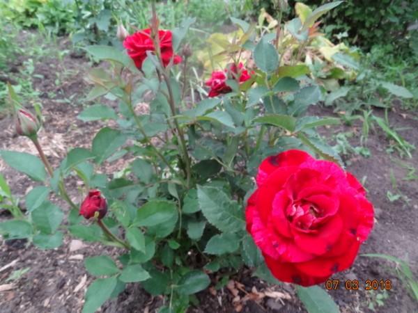 розы 051