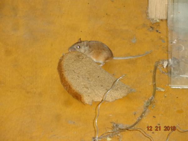 мышь 006