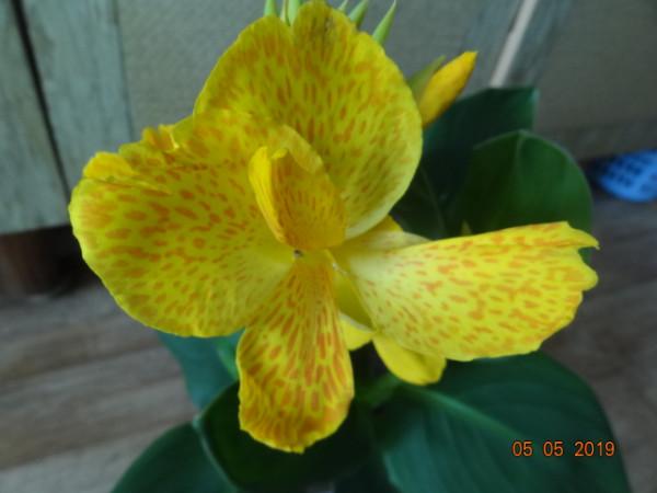 комнатные цветы 054
