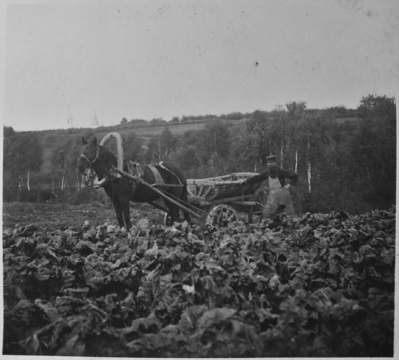 Капустное поле близ села Воробьёво. 1913г. Слева виден Троицкий храм в Троицкое-Голенищево. Возможно, та самая капуста.