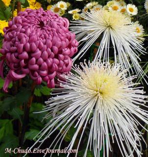 Хризантемы с выставки