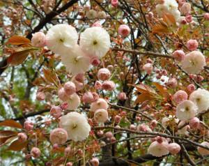 Я думаю так цветет сакура )))