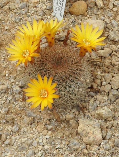 Sulcorebutia menesesii (Gardenas)
