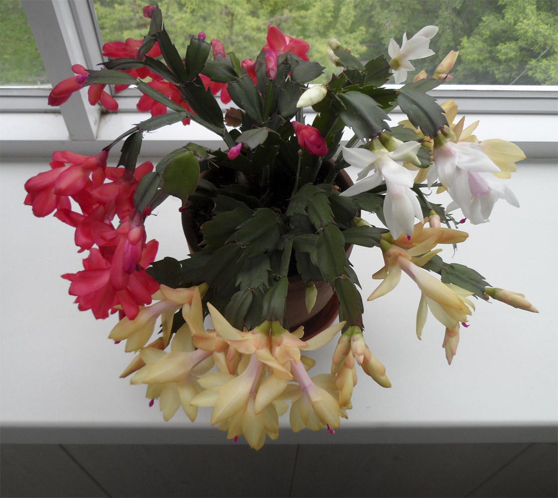 Лесной кактус (цветы)