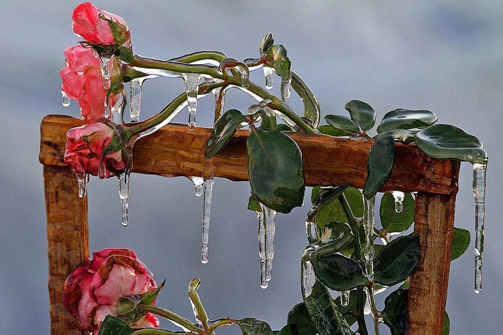 Роза- лед