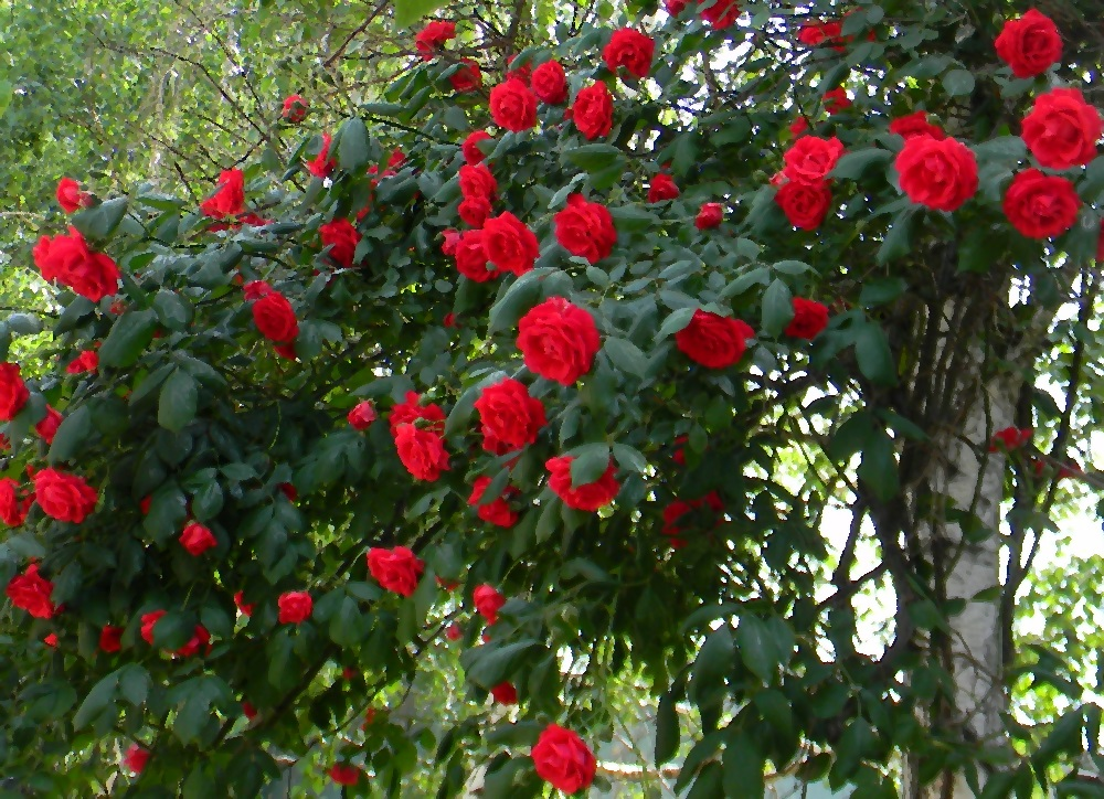 Розы Болгария