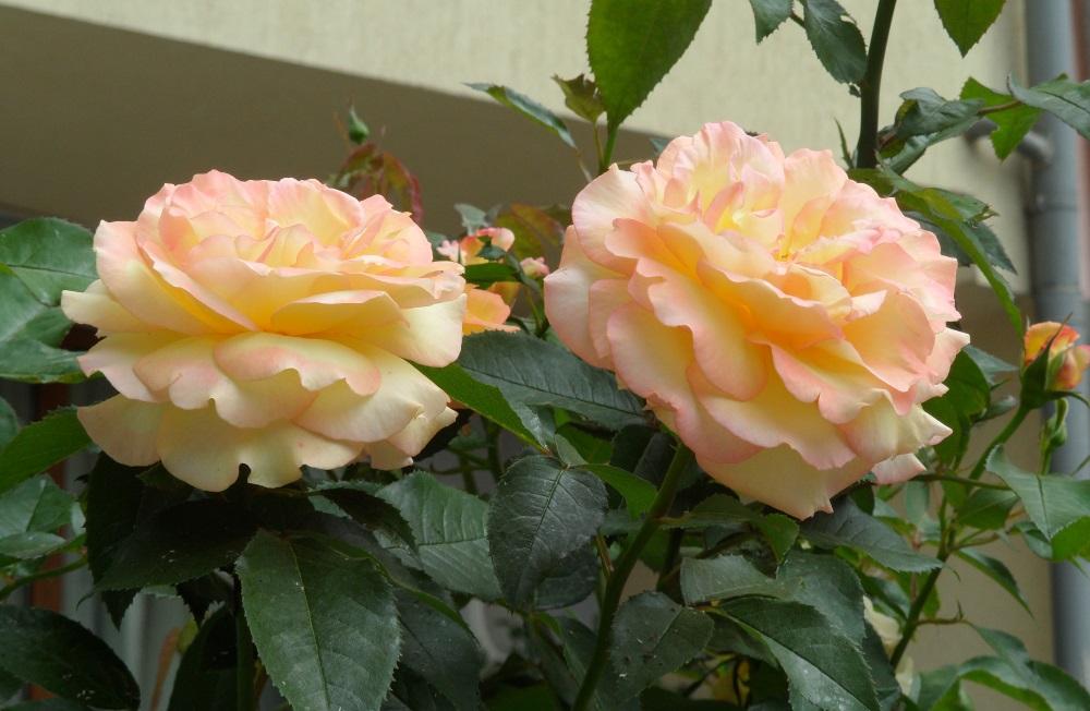 Розы из Болгарии